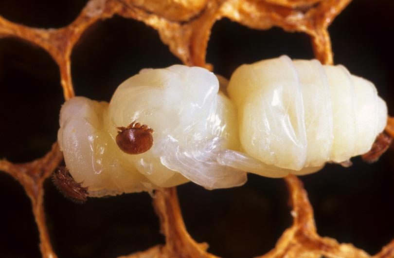 Клещ Варроа на личинке молодой пчелки