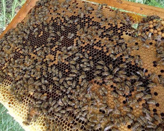 Среднерусская пчелка на рамке улья