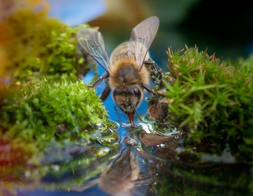 Среднерусская пчелка пьет воду из ручья