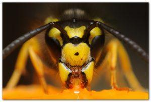 Чем опасны для пчел шершни