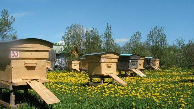 Почему воюют шершни и пчелы