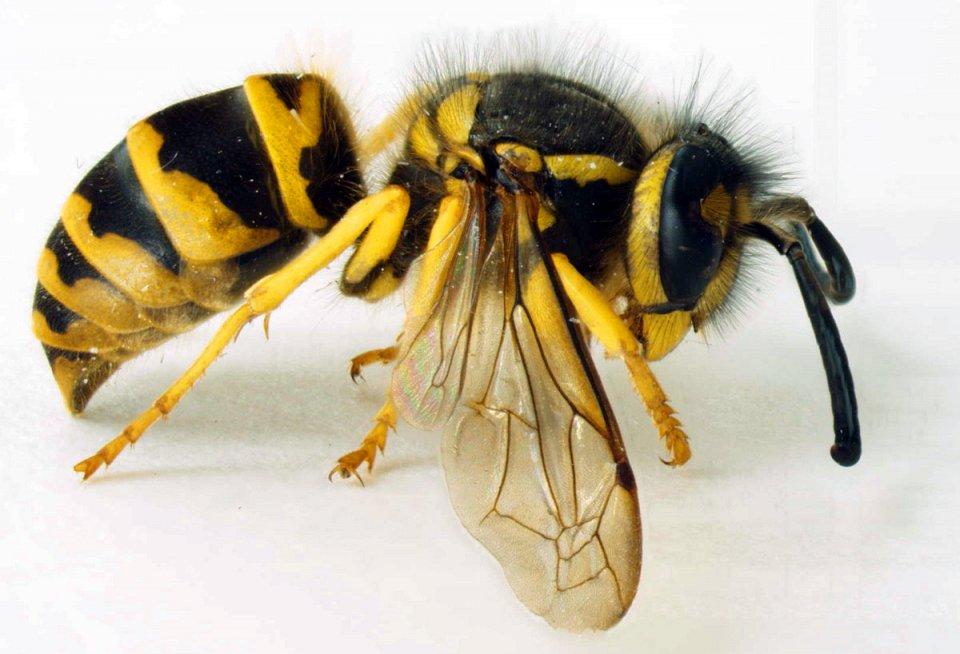 Шершни - враги пчел