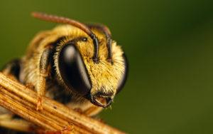 Противостояние пчел и шершней