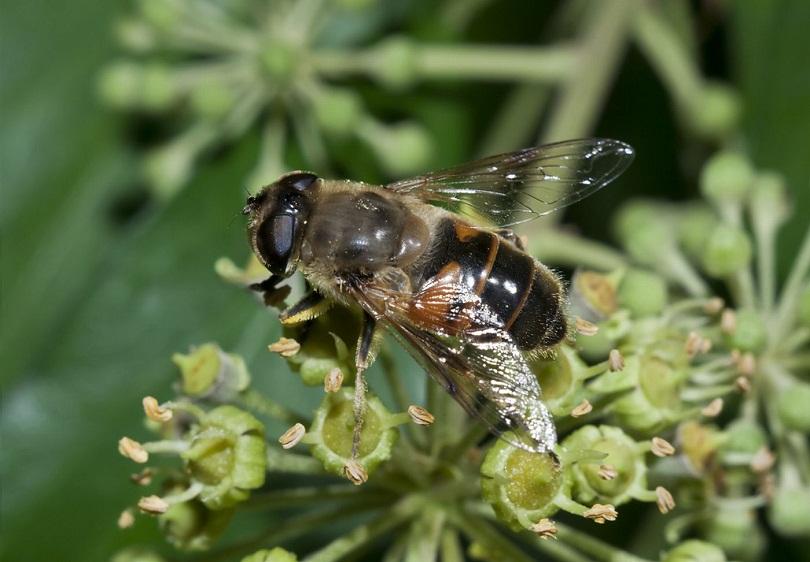 Кавказская пчела немного меньше карпатки