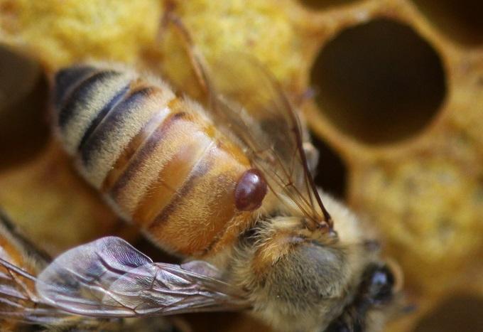 Лечение пчел нужно проводить именно осенью, так как зиму больные пчелы могут не пережить