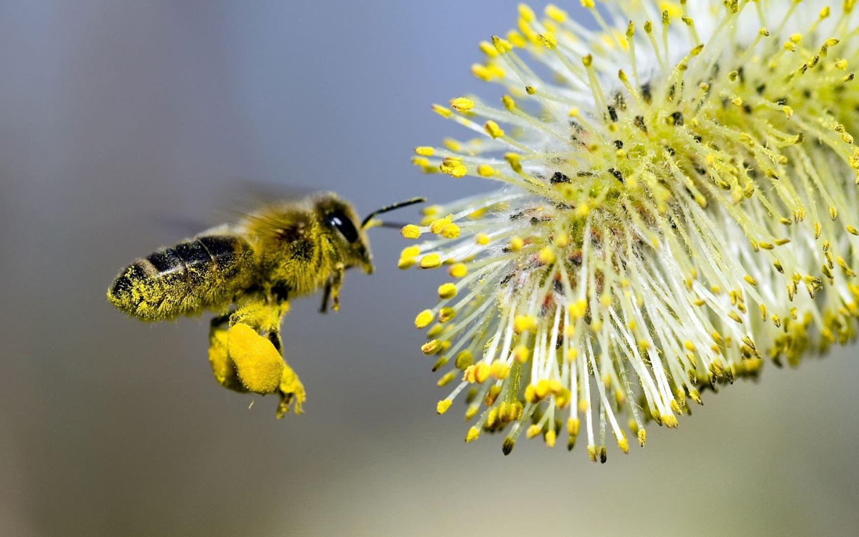 Пчела заготавливает пыльцу и прополис