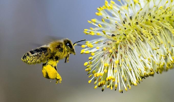 Сбор пыльцы пчёлкой для корма и продажи