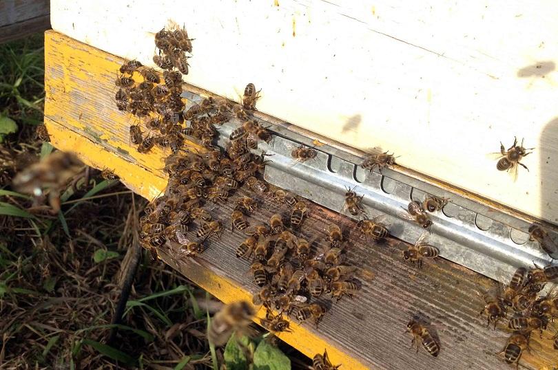 Среднерусская пчелка имеет такие же древние корни, как и карпатка