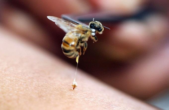 Пчелиный яд применяется с древних времен