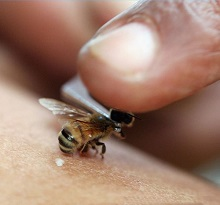 Применение пчелиного яда может заменить множество лекарств
