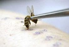 Применение яда пчел возможно только при отсутствии противопоказаний
