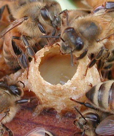 Для профилактики многих болезней стоит купить ценнейший продукт пчеловодства – маточное молочко