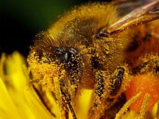Польза пчелиной пыльцы для детей
