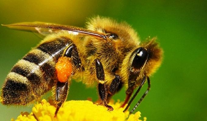 Как формируется цена пчелопакета на карпатскую породу