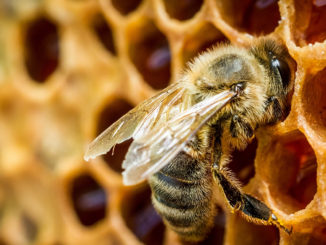 Дадан в пчеловодстве - что это такое