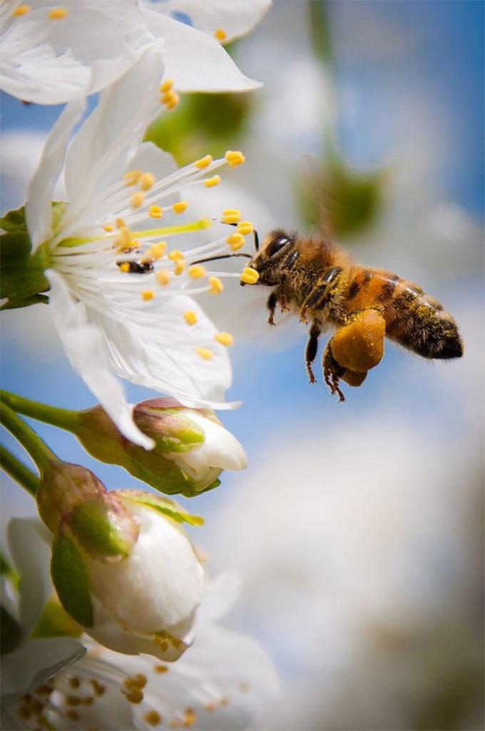 Вот так пчела собирает цветочную пыльцу, чтобы сделать из нее пергу