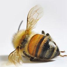 Пчелиная перга является эффективнейшим лечебным средством