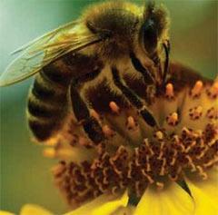 Рабочая пчелка-медонос опыляет цветок чтобы получить продукт для создания перги