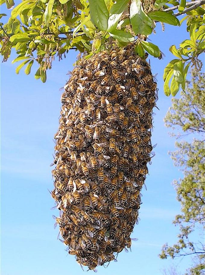 Пчелиный подмор добывается путем поиска погибших пчел на дне улья