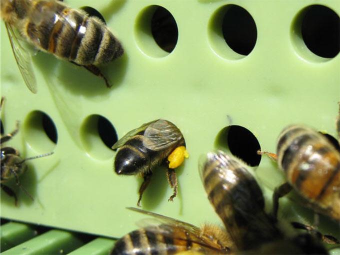 Устройство которое отбирает у пчелок часть их добычи называется пыльцеуловителем
