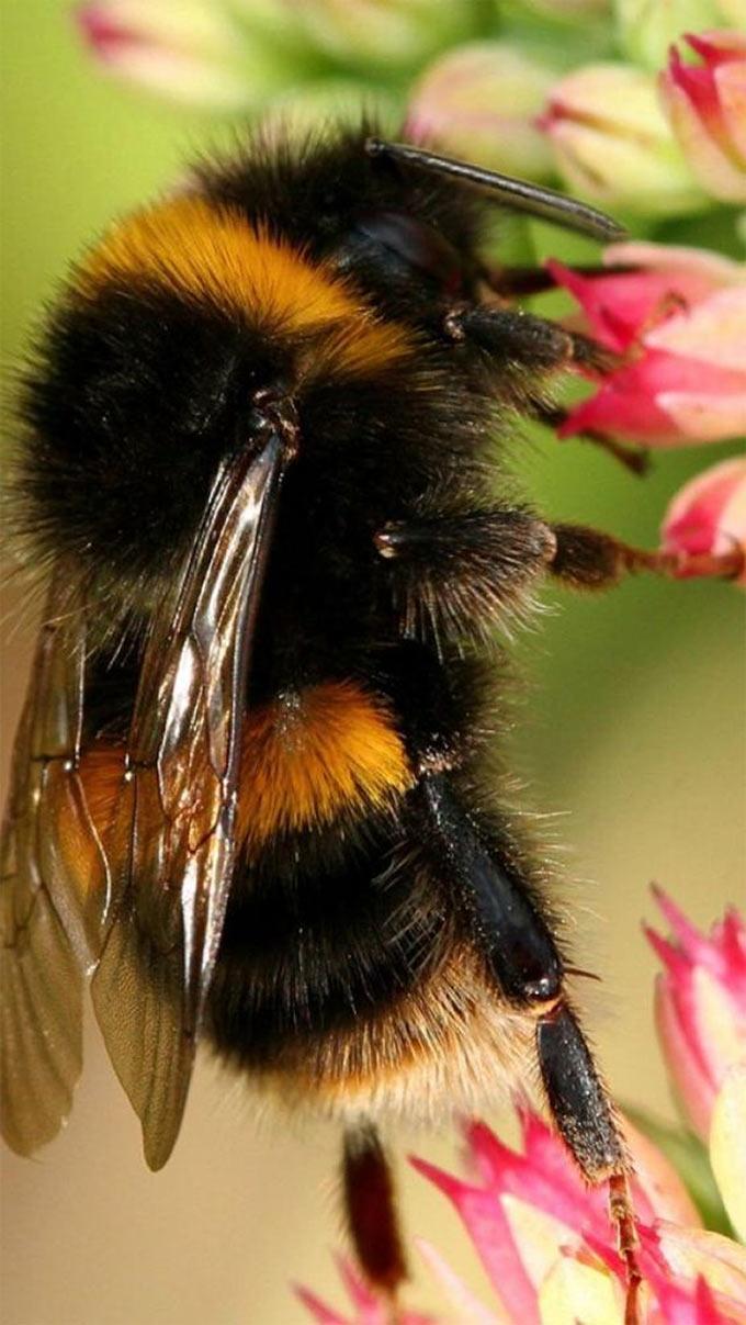 Пчелы становятся агрессивными и злыми когда вы собираете их пыльцу