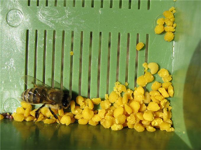 Из-за больших отверстий в сетке сборщика пчелы могут застрять в них