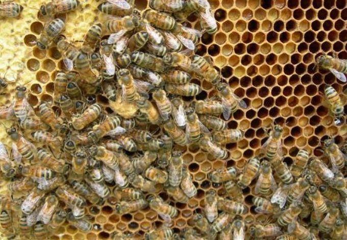 Уникальные свойства перги пчелиной