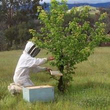 Противороевые приемы в современном пчеловодстве