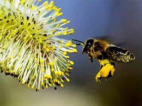 Аллергию может вызвать пыльца