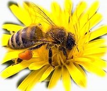 Польза пчелиной пыльцы для детcкого иммунитета