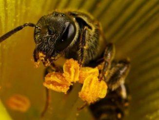 Чем полезна пчелиная пыльца