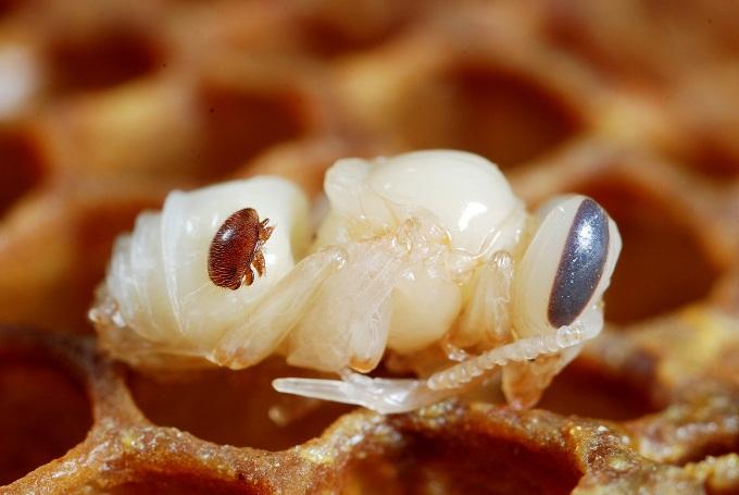 Обработка пчеловодом тимолом, спасет пчёл от такого паразита