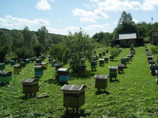 Размещение ульев влияет на работоспособность пчел