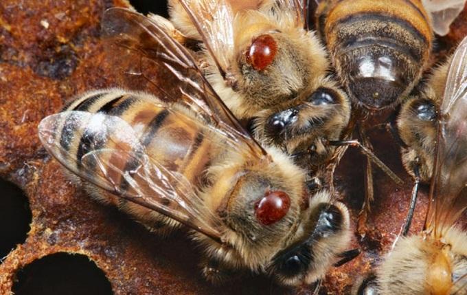 Тимол для пчёл отлично справляется с клещом-паразитом