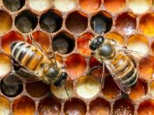 Применение пчелиной перги