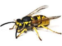 Внешний вид осы