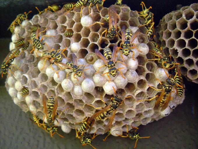 Осиное гнездо с сотой