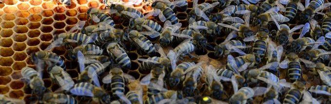 В западных областях Украины карпатская пчела имеет наибольший приоритет