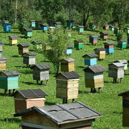 На любой современной пасеке обработка такими препаратами, как тимол, необходима для пчел