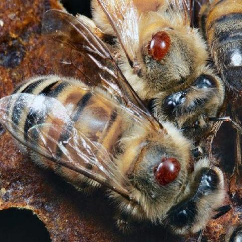 Весенняя обработка и главный враг пчеловода клещ