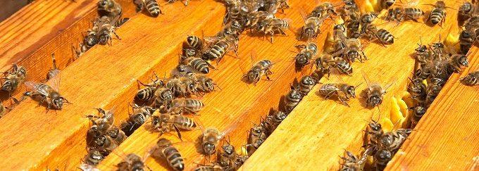 Некоторые породы пчёл не такие как карпатские
