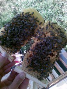 Карпатская пчела культивируется в нескольких регионах