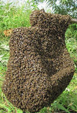 Роение пчел как важный этап в пчеловодстве летом