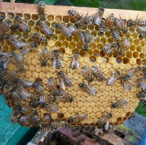 Рой пчёлок семейства карники