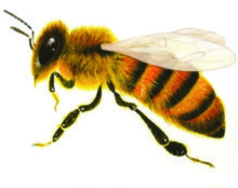 Строение тела пчелки похоже на осиное