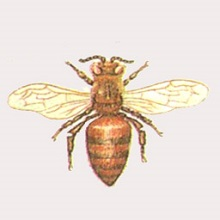 Породы пчел с фото и описанием: обзор