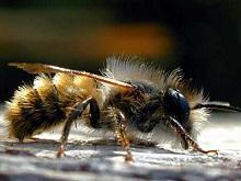 Разбираем основные отличия пород пчел