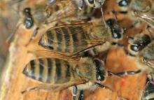 Кислота для пчел