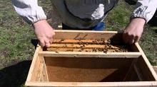 Лечение и осмотр пчел