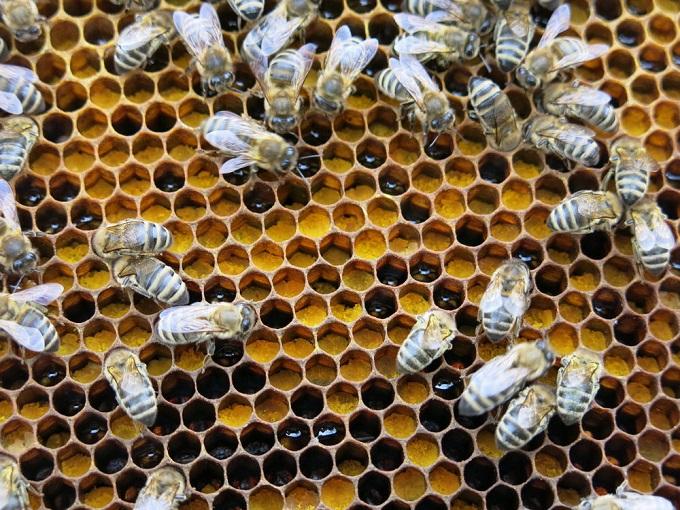 Полезные свойства и противопоказания пчелиной перги